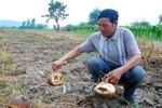 Nông dân Đắk Lắk trắng tay vì trồng bí Trung Quốc