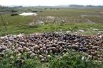 Thương lái Trung Quốc ồ ạt mua ốc bươu vàng làm gì?