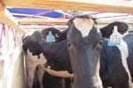 """200 """"cô"""" bò sữa mang thai đi máy bay về trang trại Vinamilk"""