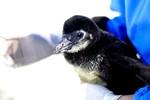 Ngắm chú chim cánh cụt đầu tiên sinh ra tại Thủy cung lớn nhất VN