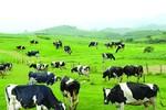 Làm thế nào giúp NTD phân biệt được sữa tươi hay sữa hoàn nguyên?