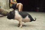 """Video: Lợn đi bằng """"hai chân"""" ở Tuyên Quang"""