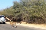 Video: Linh dương thoát chết nhờ nhảy vào xe ô tô