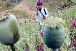 Phiến quân Myanmar bắt người Triều Tiên trồng thuốc phiện, bán dâm
