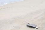 Đà Nẵng ghi nhận có 17 con cá chết dạt vào bờ biển