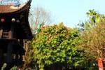 Ảnh: Bí ẩn loài hoa huyền thoại của Phật giáo ít người biết ở Hà Nội