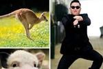 Ca khúc mới của Psy xuất hiện chuột túi, lợn