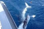 Cảnh hiếm: Cá mập lớn nhảy đớp cá mập bé
