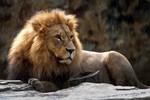 Rơi vào chuồng sư tử, một phụ nữ Mỹ tử vong