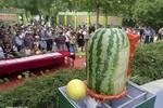 """Quả """"dưa hấu vua"""" nặng 50 kg xuất hiện tại Trung Quốc"""