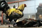 Mỹ phá sới chọi gà dùng cựa sắt quy mô lớn