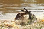 Video: Cá sấu đớp linh dương châu Phi nhanh như chớp