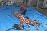 Ngư dân Nhật Bản bắt sống mực ống khổng lồ