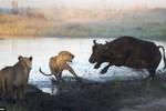 Ảnh: Giao tranh kịch liệt giữa trâu rừng với sư tử