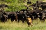 Ảnh: Đàn trâu rừng húc đạp chết sư tử