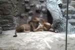 Video: Sư tử đực nổi điên cắn chết sư tử cái trong sở thú Ba Lan