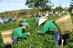Doanh nghiệp tại Đài Loan tung tin chè Việt Nam chứa dioxin