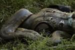 Video: Nhà tự nhiên học Mỹ cho trăn Anaconda nuốt sống