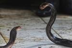 Kinh hoàng bên trong công xưởng lột da rắn làm giày, túi xách ở Indonesia