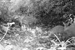 Loài thú tưởng chừng tuyệt chủng 84 năm trước xuất hiện tại Việt Nam