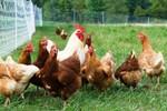 """Chính phủ yêu cầu kiểm tra vụ 1.250 con gà bị """"bắt cóc"""""""