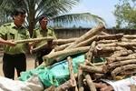 Thương lái Trung Quốc mua gỗ trắc non để làm gì?