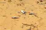 Cá chết hàng loạt trôi dạt vào bờ biển Quảng Bình