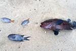 Đã tìm ra nguyên nhân cá biển chết hàng loạt ở Quảng Bình