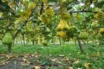 Làng trồng cây phật thủ kiếm tiền tỷ hàng năm ở Hà Nội