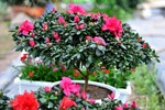 Cây hoa cảnh Trung Quốc tràn ngập chợ hoa Hà Nội