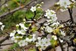 Ngỡ ngàng hoa lê nở trắng muốt giữa lòng Hà Nội