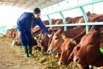 Đại gia trồng rau, nuôi bò... nông dân có được lợi?