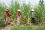 Ngành mía đường Việt Nam cạnh tranh kém là do... nông dân