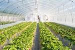 Trồng 500 ha rau sạch: Vingroup thay đổi quan niệm làm nông nghiệp