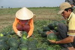 Bộ trưởng Bộ KH-CN nói gì về dưa hấu Hải Dương giá... 1.000 đồng/kg?