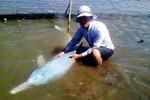 Xuất hiện cá heo trắng tại biển Thái Thụy, Thái Bình