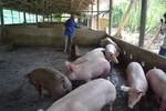 Lần đầu tiên tiêu hủy đàn heo nhiễm chất cấm tại Tiền Giang