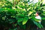 Người dân ồ ạt trồng cây bo bo để bán cho thương lái Trung Quốc