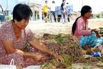 Nhiều người trồng hành tím ở Sóc Trăng bị mù mắt