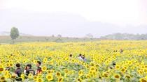 """Cánh đồng hoa hướng dương rực rỡ ở Nghệ An: """"Mùa vàng"""" truyền thông"""