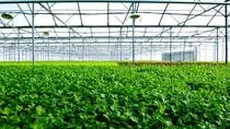 Từ 1/10, tỷ phú Phạm Nhật Vượng sẽ bán 30 tấn rau sạch mỗi ngày