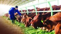 """Chăn nuôi bò, """"mỏ vàng"""" của Bầu Đức"""