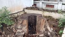 8 cây muỗm nghìn tuổi ở Thủ đô chết vì đói, khát và thuốc...mối?