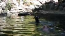Clip chú lợn 'xả thân' cứu dê mắc kẹt dưới nước