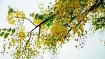 Vàng rực màu hoa muồng hoàng yến trên nền trời Hà Nội