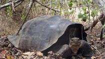 Tìm thấy rùa khổng lồ đã tuyệt chủng tại Galapagos