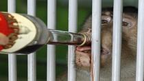 Châu Âu: Cho khỉ uống rượu chống rét