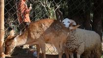 Tổ chức đám cưới cho cừu - hươu