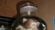 Thịt khỉ: Thần dược hay thuốc độc?