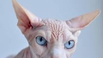 """4 loài mèo có hình dáng """"dị"""" nhất thế giới"""
